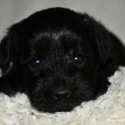 Yugo/Schnoodle/Male/,Hi, I'm Yugo! It's very nice to meet you. I'm a very outgoing puppy and I'm looking for a family where I would fit in! If you think you could be that family, then hurry up and pick me. I will be up to date on my vaccinations before coming home to you, so we can play as soon as I get there. I'm very excited about meeting my new family, so please don't make me wait too long!