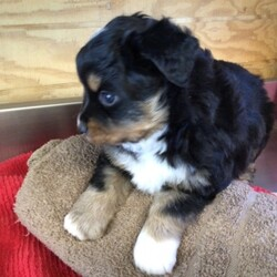Lula/Australian Shepherd/Female/,Lula's personality completely came through her big eyes. She looks at you like she is trying to see what you want so she can make you happy. She's pre-spoiled and is treated like the little princess she is. When arriving to her new home, Lula will arrive up to date on vaccinations, vet checked, and pre-spoiled. Imagine waking up to loving puppy kisses every morning! Hurry, this cutie has her bags packed and is ready to venture off to her new home!