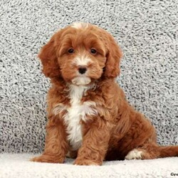 Kenny/Male /Male /Cavapoo Puppy