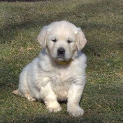 Paisley/Female /Female /English Cream Golden Retriever Puppy