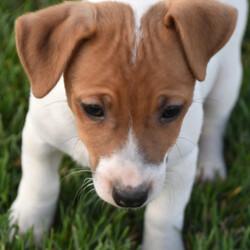 Corbitt/Jack Russell Terrier/Male/
