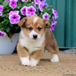 Echo/Male /Male /Pembroke Welsh Corgi Puppy,Echo is a darling Pembroke Welsh Corgi puppy that can't wait to go on an adventure with you! He is vet checked and up to date on shots and wormer. He can also be registered with the ACA, plus comes with a 6 month genetic health guarantee provided by the breeder. To welcome this puppy into your home please contact Melvin today!
