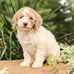 Marley/Female /Female /Miniature Poodle Puppy